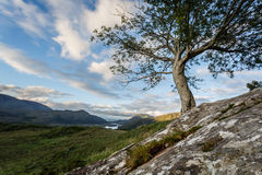 Growing out of a Stone. Tree at the Ladies View in Ireland with nice clouds in the background stock images