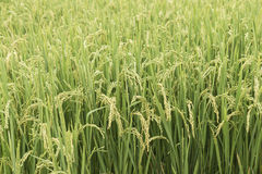 Growing paddy Royalty Free Stock Photography
