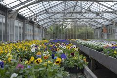 Growing pansy flowers of multi colors in the greenhouse stock photo