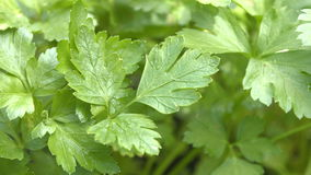Growing parsley. 3 Shots. Close-up. stock video