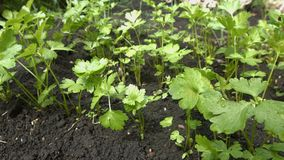 Growing parsley. 2 Shots. Close-up. stock video footage