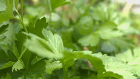 Growing parsley. 3 Shots. Close-up. stock video footage