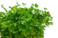Growing  parsley Royalty Free Stock Photos