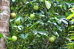 Growing Passion Fruits In Vine Of Fruit Passiflora Plant With Ripening