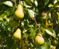 Growing pears Royalty Free Stock Image