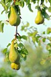 Growing pears Royalty Free Stock Photo