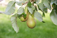 Growing pears Royalty Free Stock Photos