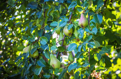 Growing pears on the tree Stock Image