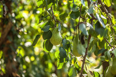 Growing pears on the tree Royalty Free Stock Photography