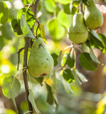 Growing pears on the tree Royalty Free Stock Photo