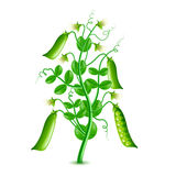 Growing peas plant isolated on white vector Stock Photos