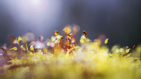 Growing petals of the moss. Growing petals of moss in a pine forest in the rays of light Royalty Free Stock Photos