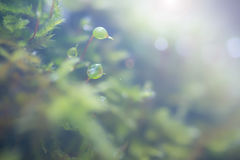 Growing petals of the moss 3. Growing petals of moss in a pine forest in the rays of light Royalty Free Stock Images