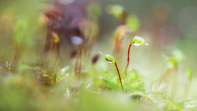 Growing petals of the moss 3. Growing petals of moss in a pine forest in the rays of light Stock Photos
