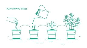 Growing phases of potted plant - seeding, germination, watering of seedlings, blooming. Life cycle of houseplant drawn stock illustration
