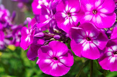 Growing phlox. Royalty Free Stock Photo