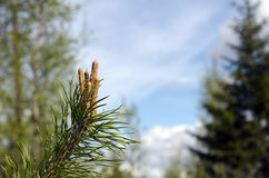 Growing pine Royalty Free Stock Photography