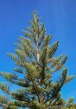 Growing pine tree. Stock Photo