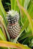 Growing Pineapple Stock Photography