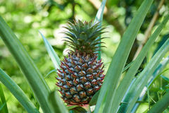 Growing pineapple on the plant, tropical fruit from the Mekong Delta, Vietnam. Nice blurred bokeh. Growing pineapple on the plant, tropical fruit from the stock photo