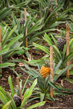 Growing Pineapple Plants, Azores Royalty Free Stock Photo