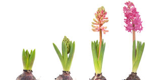 Growing pink Hyacinth Royalty Free Stock Photography
