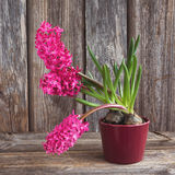 Growing pink hyacinth flower in flowerpot on wooden background. Toned, soft focus Stock Photo