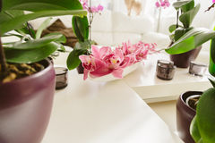 Growing pink orchid with petals arrangment in interior. Pink orchid growing at home Royalty Free Stock Photo