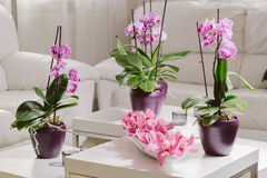 Growing pink orchid with petals arrangment in interior. Growing pink orchid with petals arrangment on white table Royalty Free Stock Photo