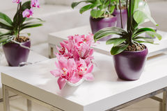 Growing pink orchid with petals arrangment in interior. Growing pink orchid with petals arrangment on white table Royalty Free Stock Photography