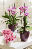 Growing pink orchid with petals arrangment in interior. Growing pink orchid with petals arrangment on white table Royalty Free Stock Image