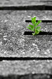Growing plant. A plant emerges between openings of a concrete slab royalty free stock images