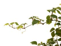 Growing plant. Green plant isolated on a white background Royalty Free Stock Photo
