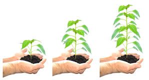Growing plant. Green, 3 steps stock photos