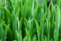 Growing plant. Emerging after a long winter Royalty Free Stock Photo