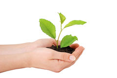 Growing plant. In a woman hand Stock Photography