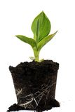 Growing Plant. Growing Green Plant isolated on white Stock Photography