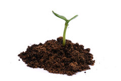 Growing Plant. Growing Green Plant isolated on white Royalty Free Stock Photo