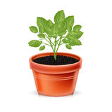 Growing plant in clay pot  Stock Photography