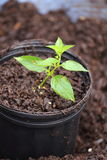 Growing Plant. A close up view of someone growing a plant in a container Stock Images