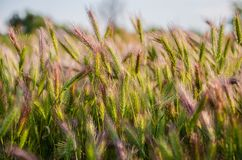 A growing plant in the field. The growing plant in the field close-up Royalty Free Stock Images