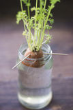 Growing Plant germination inside a jar stock images