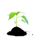 Growing plant green and soil. Isolated Stock Photo