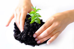 Growing Plant. Hands growing and taking care for a young plant Royalty Free Stock Photo