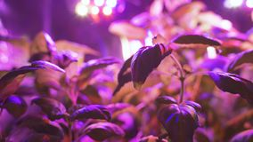 Growing plant seedlings and artificial lighting. Lamp for plant growth without the sun. The color is pink or purple. Ecology, business, Earth Day, organic stock video footage