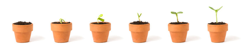 Growing Plant Sequence. A sequence of a plant sprouting/growing in pots, on white Stock Images