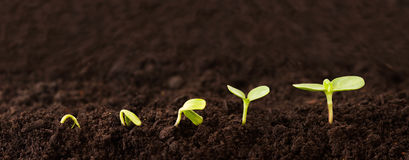 Growing Plant Sequence in Dirt. Sequence of a seedling growing in the dirt Royalty Free Stock Photography
