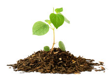 Growing a plant in soil isolated on white background Stock Image