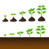 Growing plant steps vector set Royalty Free Stock Photography