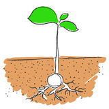 Growing plant vector. Illustration of seed growing with roots in soil isolated on white background + vector EPS file royalty free illustration